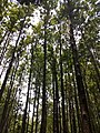 Masinagudi habitat Silver Oak Grevillea robusta IMG 20180505 124236258.jpg