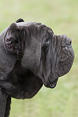 Neapolitan Mastiff - The complete information and online sale with
