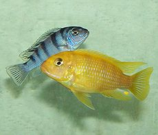 Mbuna wikipedia for Black and white striped fish freshwater