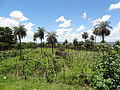 Mbokaja, Cocotero del Paraguay.JPG