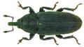 Mecinus pyraster (Herbst, 1795) (8220663075).png