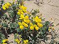 Medicago marina flowers.jpg