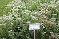 Medicinal Plant Gardens Weleda Schwaebisch Gmuend Eupatorium perfoliatum.jpg