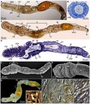 Meioglossus - Microscopic views of M. psammophilus