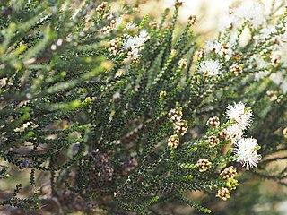 <i>Melaleuca cucullata</i> Species of shrub