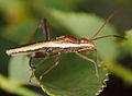 Melanacanthus scutellaris (14343356159).jpg