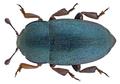 Meligethes aeneus (Linné, 1758) (29650278385).png