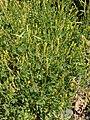 Melilotus indicus plant (05).jpg