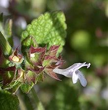 Семена Мели́сса лека́рственная (Melissa officinalis)