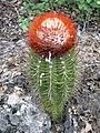 Melocactus borhidii 2.jpg