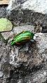 Melolonthidae.jpg