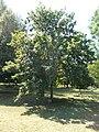 Memorial tree of joining to the European Union, 2020 Pápa.jpg