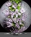 Mentha spicata sl16.jpg