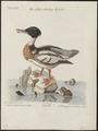 Mergus serrator - 1700-1880 - Print - Iconographia Zoologica - Special Collections University of Amsterdam - UBA01 IZ17700203.tif