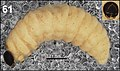 Miarus ajugae (10.3897-zookeys.808.28172) Figure 61.jpg