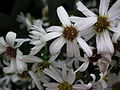 Michaelmas daisy or Aster amellus from Lalbagh Flowershow - August 2012 4724.JPG