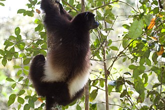 Milne-Edwards' sifaka - Dorsal view