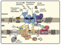 Mitochondrial membrane transport proteins.png