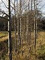 Mixed saplings in Gåseberg 1.jpg