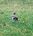 Mockingbird Chick013.jpg