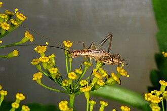 Tree cricket - Oecanthus pellucens