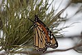 Monarch Butterfly (resting during migration) Rusty's Rodeo NM 2017-10-14 18-30-36 (23887665628).jpg