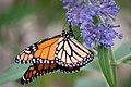 Monarch butterfly (6238192720).jpg