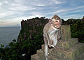Monkey at Ulu Watu Temple.jpg