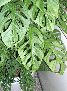 Liten monstera (M. adansonii)