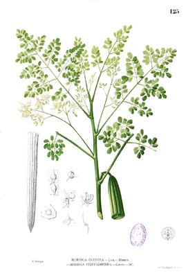 Moringa oleifera Blanco1.125.png