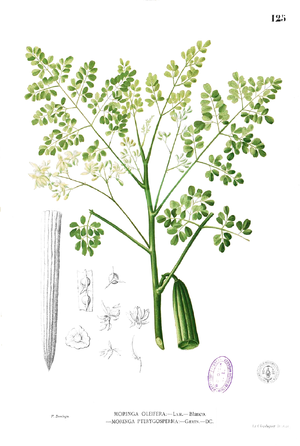 Behenic acid - Behenic acid comes from the ben oil tree, Moringa oleifera