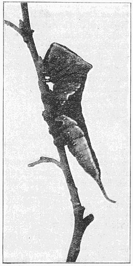 Fig. 20.Caterpillar of Puss Moth.
