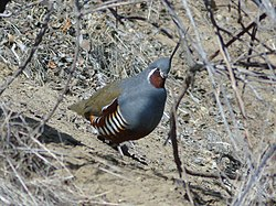 Mountainquail.jpg