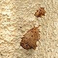 Mud Dauber Nest (15954517711).jpg