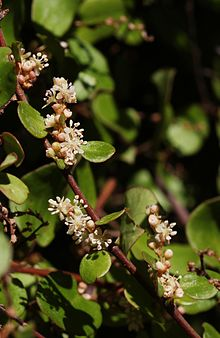 Image result for muehlenbeckia complexa