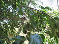 Mulberry Tree.JPG