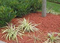 Shredded wood used as mulch. This type of mulch is often dyed to improve its appearance in the landscape.
