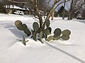 Muskogee snowstorm 2021-02-15 222 N 10th St cactus W.jpg