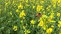Mustard flowers with bee.jpg