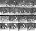 Muybridge, Eadweard - a.) Trottender Bock b.) Galoppierender Bock (Zeno Fotografie).jpg