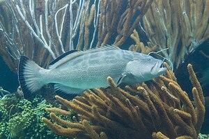 Black grouper - Image: Mycteroperca bonaci