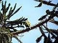 Myiopsitta monachus -Santiago, Chile -building nest-8 (1).jpg