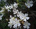 N20150824-0003—Nerium oleander (white)—Santa Fe Right-of-way (20608437573).jpg