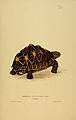 N74 Sowerby & Lear 1872 (geochelone elegans).jpg