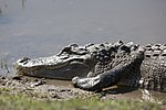 NASA Kennedy Wildlife - Alligator (5).jpg