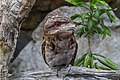NQld Frogmouth-04 (11358653015).jpg