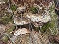 Napadený kmen topolu (dřevokazná houba) 13.jpg
