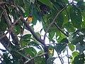 Narcissus Flycatcher (14204519733).jpg