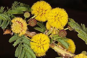 Vachellia xanthophloea - Flowers