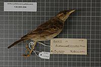 Naturalis Biodiversity Center - RMNH.AVES.122948 1 - Anthus pallidiventris pallidiventris Sharpe, 1885 - Motacillidae - bird skin specimen.jpeg